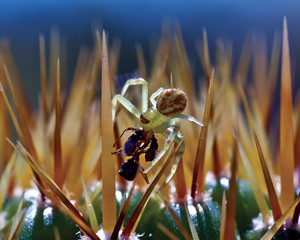 USA, Arizona, Crab Spider (Thomisidae) eating insect