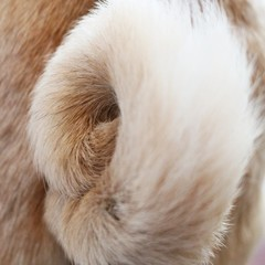 Close-up of pug tail