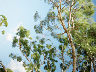 Provence, France, Branches Of Maritime Pines With Blue Sky