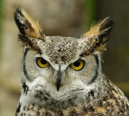USA, Minnesota, Eyes Of Horn Owl
