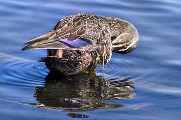 Mallard duck in river