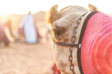United Arab Emirates, Abu Dhabi, Portrait of Camel (Camelus dromedarius)