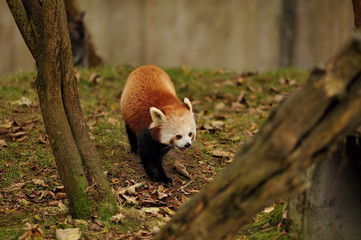 Red Panda walking on  leaf covered grass
