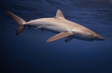 Bahamas, View of silky shark