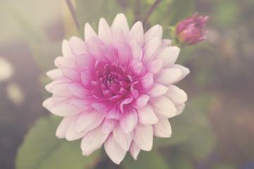 Iceland, Akureyri, Close-up view of flower