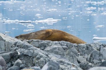 Seal on rocks