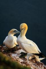 Germany, Heligoland, Two Northern Gannet (Morus bassanus)
