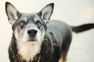 Italia, Piedmont, Tortona, Portrait of dog glancing up