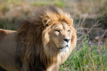 South Africa, Lion