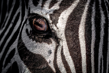 USA, Eye of zebra