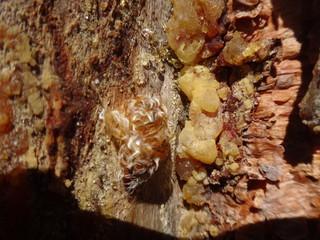 Застывшая смола на срезе коры дерева