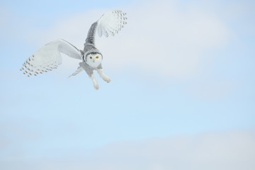 Owl Flying In The Sky