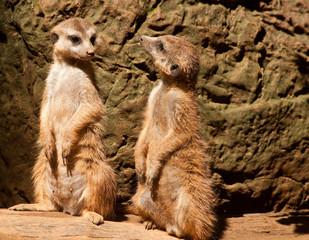 African Meerkat