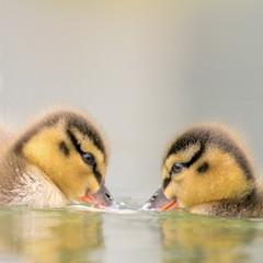 Iceland, Capital Region, Reykjavik, Close-up view of ducklings