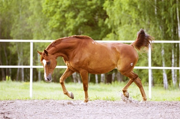 Red Trakehner horse runs trot on the green background