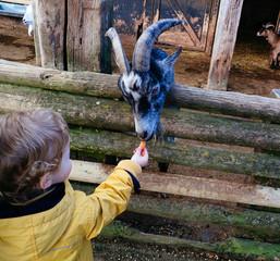 UK, Young Boy Feeding Goat