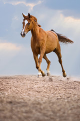 Red Trakehner horse runs trot on the sky background