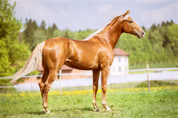 Portrait of the golden red horse in summer time