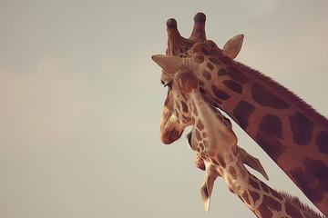 Two giraffes in zoo