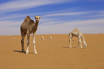 Saudi Arabia, Sahara, Camels in desert
