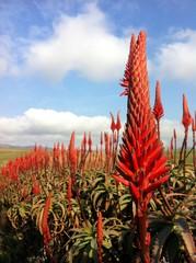 View of Aloe flowers