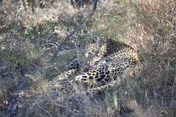 Leopard (Panthera pardus) grooming itself