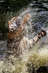 Tiger pouncing out of water