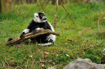 Black and White Ruffed Lemur holding a stick