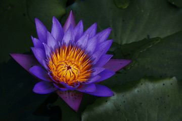 Close up of Lotus flower (Nymphaea Caerulea)
