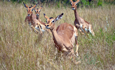 Red Impalas running on meadow