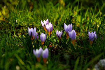 Germany, Finsterbergen, crocus in spring,