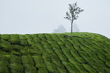 Malaysia, Lone tree in tea plantation