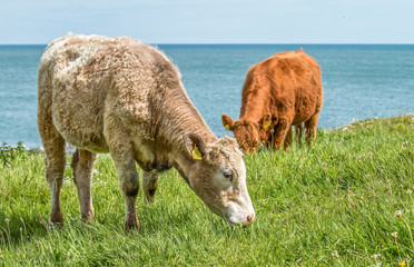 Cows grazing on grass at seaside