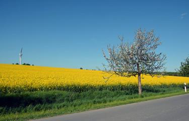 Rapsfeld mit Obstbaum