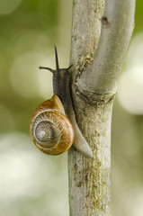white-lipped snail, Cepaea hortenzis on a branch