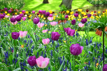 Violet tulips, in spring, in the garden of Keukenhof, Holland