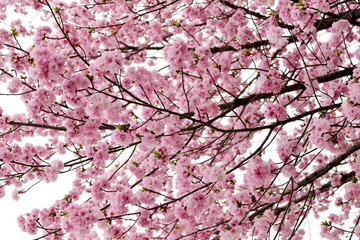 cherry Blossoms or Pink Sakura.