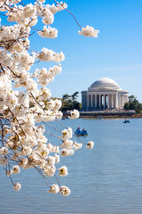 Cherry Blossoms and the Jefferson Memorial