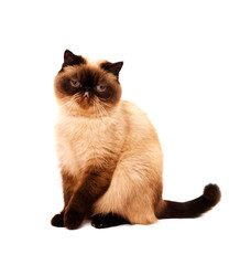 Exotic Shorthair Cat isolated on white