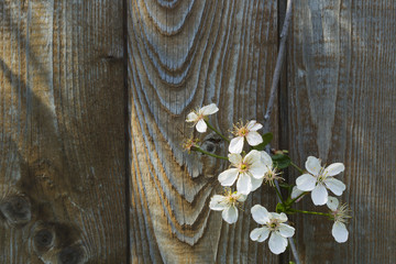 Cherry blossoms against a background of a wooden fence.