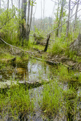 Foggy Swamp