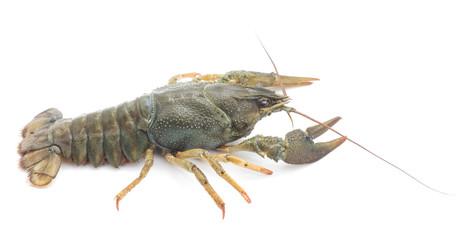 One crayfish.