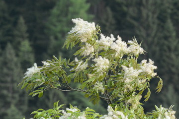 fiori di frassino al vento