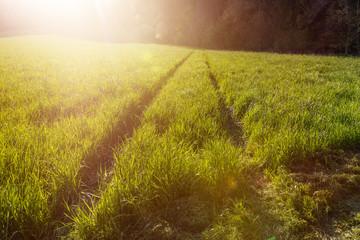 Hohes Gras im Sonnenlicht