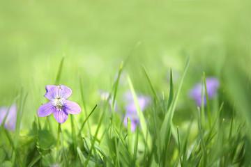 Small Wild Violet Flower in Green Grass Background