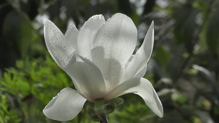 Innocent White Rain soaked Magnolia Spring Flower