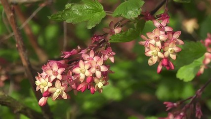 Close up of Vibrant Fire Currant Blossom in Spring