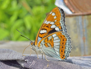 Butterfly (Limenitis populi ussuriensis) 9