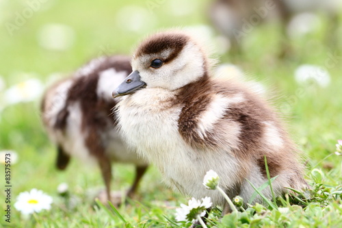 Poster Young goose in a Meadow (Nilgansküken)