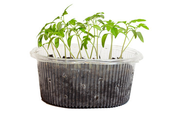 Seedlings of tomatoes in the box. Isolated object.
